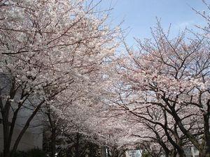 Dsc03766sakura_4